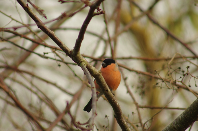 bullfinch best shot